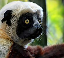 Coquerel's Sifaka by Savannah Gibbs