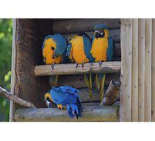 Colourful Macaws Roosting Photographic Print
