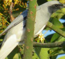 Black Faced Cuckoo Shrike Sticker