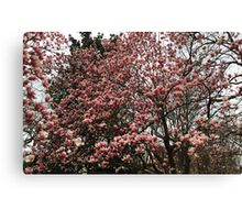 Washington Cherry Blossoms 2 Canvas Print