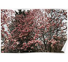 Washington Cherry Blossoms 2 Poster