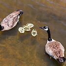 Goose  Gander and Goslings by Bo Insogna