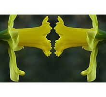 Daffodil Face Off Photographic Print