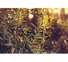 Pine Needles In The Sun Photographic Print