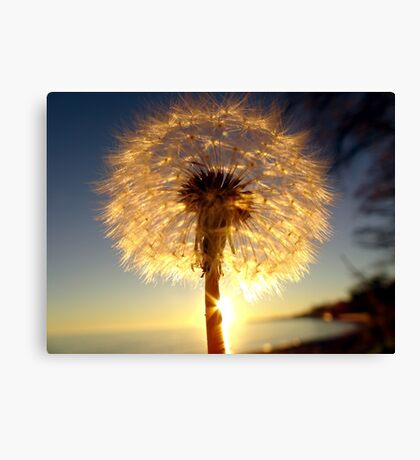 Dandelion Sunset Canvas Print