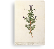 French Lavender Canvas Print
