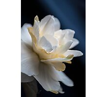 Butter and Eggs Daffodil Photographic Print