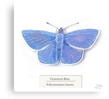 Common Blue on White Canvas Print