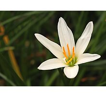 White rain lily Photographic Print