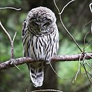 Light Phase Barred Owl by RichImage