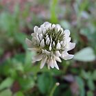 White Clover by vigor