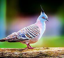 Candy Pigeon... by Tracie Louise
