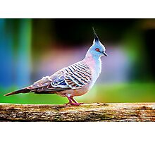 Candy Pigeon... Photographic Print