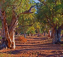 Red River Gums by Melva Vivian