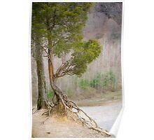 Zoar Redcedar (Juniperus virginiana) Poster