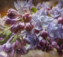 Lilacs of Distinction by vigor