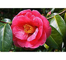 Camellia Photographic Print