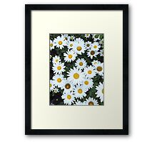 Daisys in bloom Framed Print
