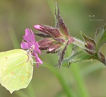 """"""" Brimstone On Campion """" by Richard Couchman"""