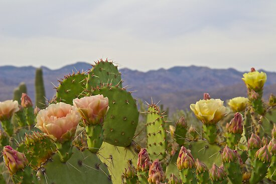 Prickly Pear by John Butler