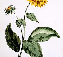 Sunflower with large jagged leaves by Bridgeman Art Library