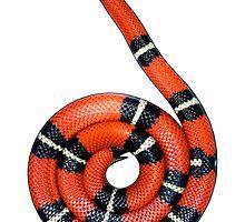 Sinaloan Milk Snake by Kawka