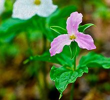 Purple & White Trilliums by johnnycdesigns