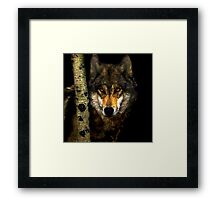 Wolf from Kaibab Forest in Arizona Framed Print