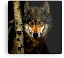 Wolf from Kaibab Forest in Arizona Metal Print