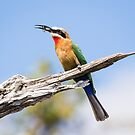 White-fronted Bee-eater along the Chobe river, Botswana by Robert Kelch, M.D.