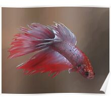 Sparky the Crowntail Poster