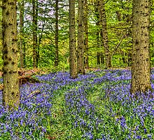 Bluebell Walk by vivsworld