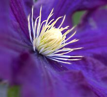 Clematis by English Landscape Prints
