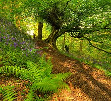 Bluebell Woodland (HDR) by Stephen Knowles