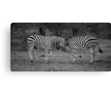Fighting Zebras South Africa Canvas Print