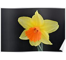 Bright Yellow Daffodil Poster