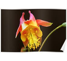 Aquilegia ~ Columbine Wildflower Poster