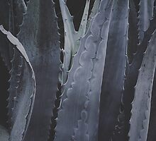 Agave Shadows by vivacity