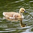 Canada Goose Gosling by Susie Peek