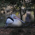 Pelican at Healesville II by Tom Newman