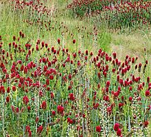 In Red Clover by Eileen McVey