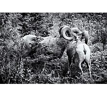 Two Rams BW Photographic Print