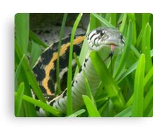 Black-Necked Garter Snake Sniffs the Air Canvas Print
