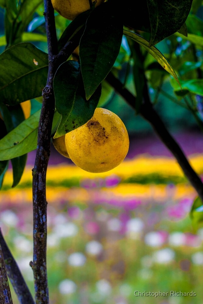 Lemon Tree 'The Lost Gardens of Heligan' by Christopher Richards
