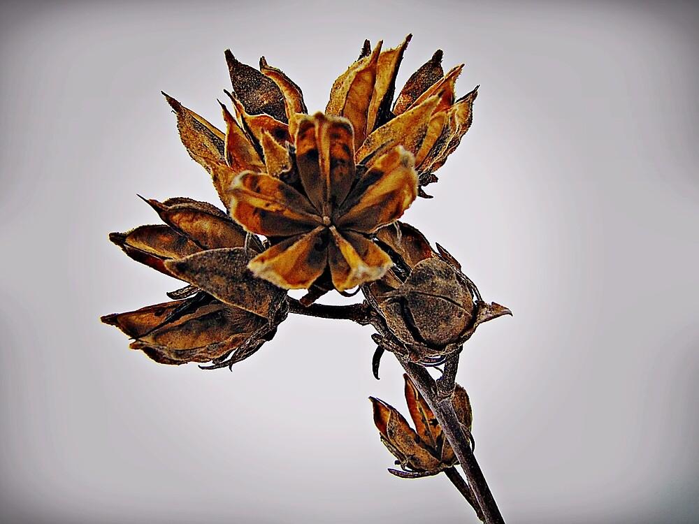 Winter Dormant Rose Of Sharon  by David Dehner