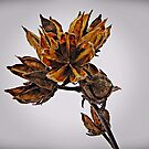 Winter Dormant Rose Of Sharon  by David Dehner