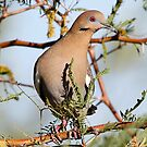 White-winged Dove by Dennis Cheeseman