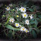 Wild Daisies by David Dehner