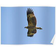 Juvenile Fish-eagle Poster