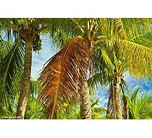 Coconut palms Photographic Print